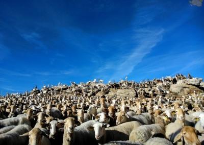 Oveja segureña y Cabra Blanca Celtibérica